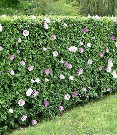 Heg van hibiscus