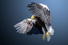 Photograph Sea Eagle by Ton Hermans on Wildlife Nature, Birds Of Prey, Raptors, Eagles, Bald Eagle, Pets, Painting, Animals, Toque