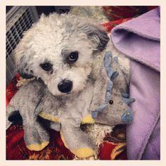 awww puppy #puppy #cute #dogs #puppylove