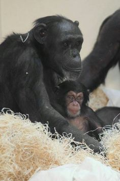 Thelma, Monkey World x Baby Chimpanzee, Types Of Monkeys, Monkey World, Ape Monkey, Jane Goodall, Primates, Science And Nature, Cute Baby Animals, Animal Pictures