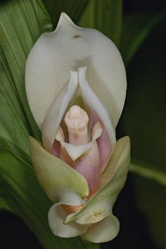 Lycaste skinneri x Anguloa uniflora, by species orchids, via Flickr