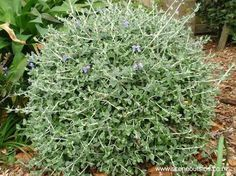Image result for teucrium fruticans