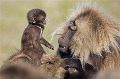 Gelada baboon (Theropithecus gelada) infant comes face to face with an adult male while playing on mother's back, Simien Mountains National Park, Ethiopia Picture: Anup Shah and Fiona Rogers Primates, Mammals, Wild Creatures, All Gods Creatures, Baby Animals, Cute Animals, Magnificent Beasts, British Wildlife, Baboon