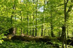 Ein alter Riese verrottet im Frühlingswald - auf http://ronni-shop.fineartprint.de