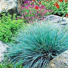 100pcs/bag Fescue Grass(Festuca glauca)seeds drought tolerant Ornamental Grass Seeds Perennial Bonsai Plants Home DIY