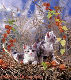Kittens and Chinese lanterns