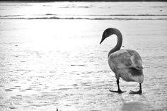 kámoška :) Swan, Bird, Animals, Animales, Animaux, Swans, Birds, Animal, Birdwatching