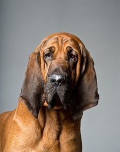 Bloodhound Dog Breed Information, Pictures, Characteristics & Facts - Dogtime Perros Bull Terrier, Bull Terrier Dog, Horses And Dogs, Dogs And Puppies, Doggies, Bloodhound Puppies, Beagle Dog, Basset Hound Mix, Dog Breeds Pictures