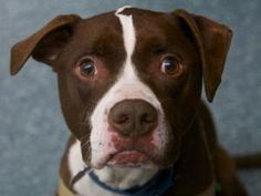 COCO is an adoptable Pit Bull Terrier Dog in Boston, MA. MEET COCO! Coco is an independent, 5 year old pit bull mix who was found as a stray. He enjoys playing with other large dogs here in our playgr...