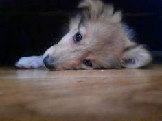 Odpočívání po očkování #sheltie #shetlandsheepdogsofinstagram #shetlandsheepdog #love #puppy #puppyoftheday...