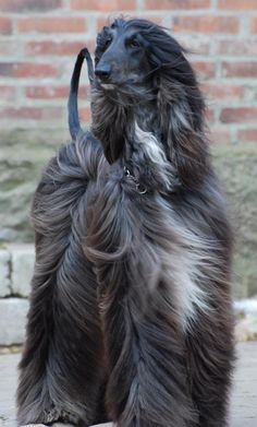 "Afghan Hound .....Hunters in Afghanistan once referred to the Afghan Hound as ""the Noah's Ark dog""."