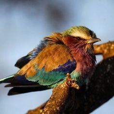 Chilly mornings. #lilacbreastedroller #africa #botswana #nature #naturelovers #wildlifefilmmaker #wildlife #birds #birdsofinstagram #cold Lilac Breasted Roller, Life Photo, Mornings, Filmmaking, Wildlife, Africa, Birds, Cold, Instagram Posts