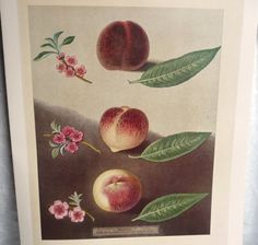 Botanical Illustration 'peaches' -19th Century Artist George Brookshaw -vintage…