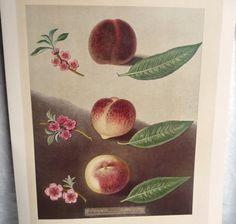 Botanical Illustration 'peaches' -19th Century Artist George Brookshaw -vintage…