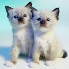 Ragdoll cats are very mild-mannered and sweet cats. - GK Hart/Vikki Hart/Getty Images