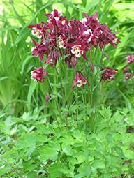 Red Hobbit Columbine (Aquilegia