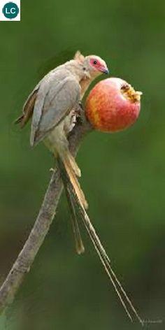 https://www.facebook.com/pages/THI%C3%8AN-NHI%C3%8AN-K%E1%BB%B2-TH%C3%9A/171150349611448?ref=hl Chim Chuột mặt đỏ; Họ chim chuột-Coliidae; Nam Phi | Red-faced mousebird (Urocolius indicus) IUCN Red List of Threatened Species 3.1 : Least Concern (LC)(Loài ít quan tâm)