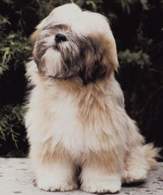 Lhasa apsos have long, flowing coats that require constant grooming. Lhasa owners who do not show their dogs usually keep them in a shorter hairstyle. This breed's hair tends to mat easily without . Shih Tzu, Cute Puppies, Cute Dogs, Dogs And Puppies, Boxer Puppies, Doggies, The Animals, Lhasa Apso Puppies, Puppy Cut