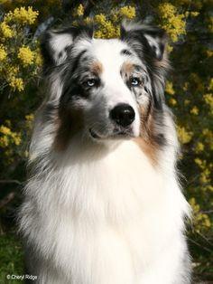 "Willabaa Silver Ghost (""Ashleigh""), a blue merle Australian Shepherd dog, by © Cheryl Ridge, via pbase.com"