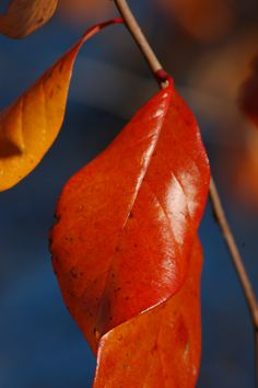 The tupelo tree acquires a nice reddish-orange color in its leaves in autumn. Tupelos tend to grow around water. Get further ideas for fall foliage trees here: http://landscaping.about.com/od/fallfoliagetrees/