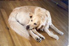 Sie sind einfach zum Anbeißen  #hund #haustier #goldenretriever  www.hunde-buch.com