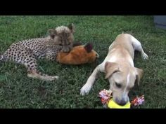 Labrador Retriever Puppies Richmond Va : Kumbali and Kago Cheetah Cub & Puppy Friendship Rescue Puppies, Cute Puppies, Best Friend Gifs, Baby Cheetahs, Cat Diseases, Cheetah Cubs, Unlikely Friends, Getting A Puppy, Cute Puppy Videos