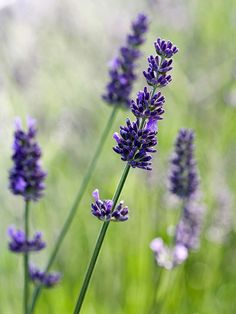 A Gardener's Guide to Lavender ---- A list of types: http://www.bhg.com/gardening/plant-dictionary/herb/lavender/. ---- #garden