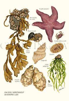 Pacfiic Intertidal Life - New Pin Science Illustration, Plant Illustration, Ocean Art, Ocean Life, Sea Life Art, Sea Life Nursery, Sea Plants, Beach Hacks, Fish Print