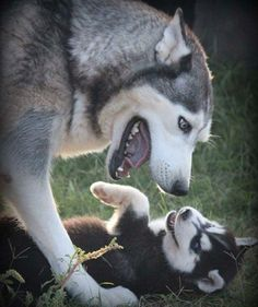 playtime for all huskies will begin NOW! #siberianhusky