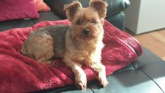 Terrier Dog Breeds, Yorkshire Terrier Dog, Yorkies, Small Dogs, Princess, Pets, Animals, Little Dogs, Animales
