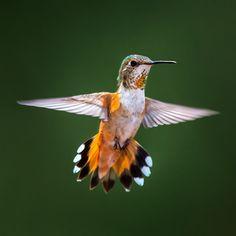 Hummingbird - exquisite.