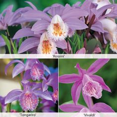 Pleione (Orchid) Collection - Other Flower Bulbs & Tubers - Thompson & Morgan