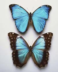 Blue morpho butterflies are my favorite!
