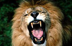 Em algumas tribos africanas têm um costume: pessoas remover os dentes incisivos, a fim de mostrar que pessoas de diferentes animais.