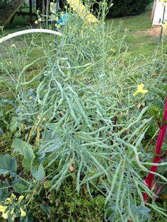 Seed pods on overwintered kohlrabi.