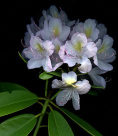 55359.01 Rhododendron