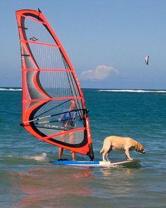 Dog Windsurfer~*