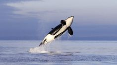 Exotic orcas showing up in Pacific Northwest; reason is a mystery.
