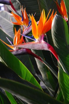 "Bird of Paradise/ STRRLITZIA REGINAE in the language of flowers this refers to ""magnificence"". Good for cookin sauces an floral bouquets."