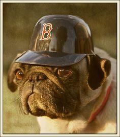 I'm a Pug, not a Boston Terrier. How ya like them apples?