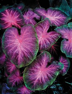 Caladium 'Ansel Adams'........to die for! 5th and state: How to add IMPACT to your Gardens