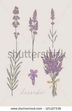lavender hand drawn set vector by shooarts, via Shutterstock