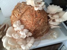 Without intense amount of work you can grow healthy oyster mushrooms right at home. These Oysters are grown from wheat grain spawn and boiled wheat straw.
