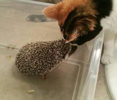 Hedgehog kisses
