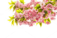 Blossoming of cherry tree by LiliGraphie on Creative Market