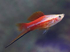 Red Back Marigold Swordtail Tropical Freshwater Fish, Freshwater Aquarium Fish, Tropical Fish, Aquarium Pump, Betta Aquarium, Saltwater Tank, Saltwater Aquarium, Swordtail Fish, Aquarium Supplies