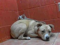 Extremely urgent!   She's not sure why she was brought here. She's very scared and most likely won't leave the shelter alive unless we help her.   Animal ID: A4671595  My name is Allison and I'm an approximately 10 month old female pit bull. I am not yet spayed. I have been at the Downey Animal Care Center since January 27, 2014. I will be available on January 31, 2014. You can visit me at my temporary home at D530.  Downey shelter, California. Phone: (562) 940 6898