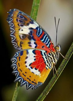 Real butterfly