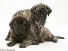 english mastiff | Dogs: Brindle English Mastiff pups photo - WP11668