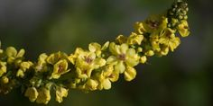 Verbascum phlomoides is used to treat bronchitis Cough Remedies, Asthma, Wild Flowers, Natural Remedies, Rose, Nature, Pictures, Plants, Naturaleza